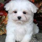 maltese puppy in the garden.jpg