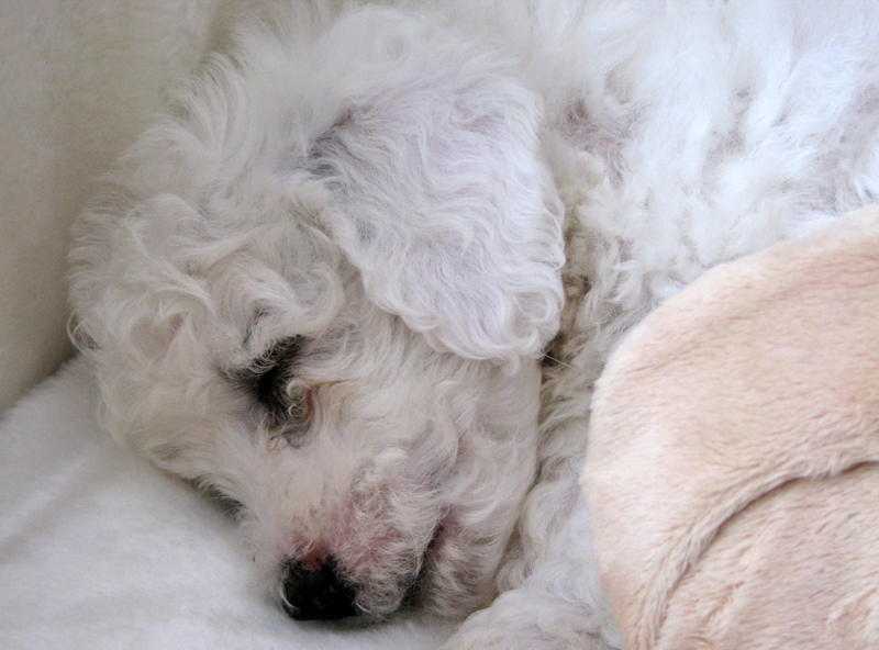 Close up photo of sleepy Bichon Frise Puppy.PNG