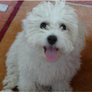 CLose up picture of a funny looking Bichon Frise dog.PNG