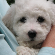 Close up picture of Bichon Frise Puppy in white.PNG
