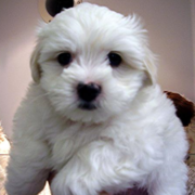 Close up pictureof a cute young Bichon Frise pup.PNG