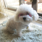 Cool looking Bichon Frise Puppy with pink sunglasses.PNG