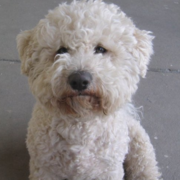 Creamy color Bichon Frise puppy looking straight at the camera.PNG