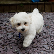 Creamy white bichon frise breed picture.PNG