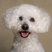 Curly hair bichon frise breeds.PNG