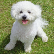 Cute bichon frise breed picture.PNG