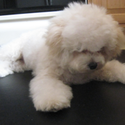 Cute bichon frise photos.PNG