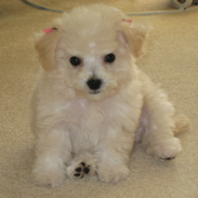 Cute bichon frise puppies breeders.PNG