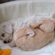 Cute Bichon Frise Puppy in deep sleep in its big dog bed.PNG