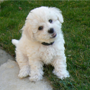 Cute Bichon Frise Puppy in white looking at the camera.PNG