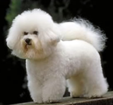 French Bichon Frise dog puppy image.PNG
