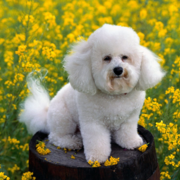 French Bichon Frise puppy in the yellow flower field.PNG