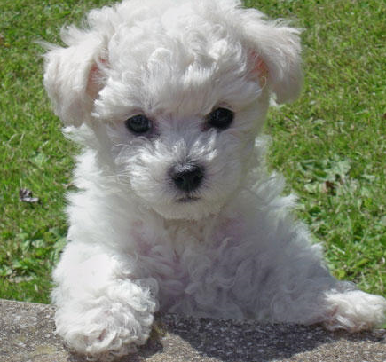 French bichon frise puppy pictures.PNG