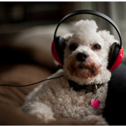 Funny dog picture listening to music with red headp phone.PNG