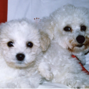 Image of bichon frise breeders.PNG