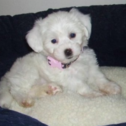 Image of Bichon Frise puppy on the its dog bed.PNG