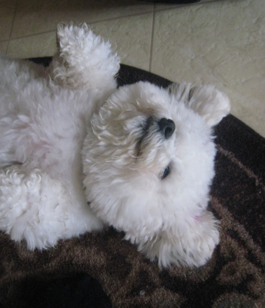 Image of bichons frise sleeping on its back looking so cute and funnny.PNG