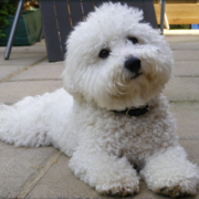 Image of miniature bichon frise.PNG