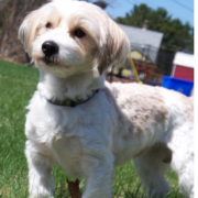 Jack russell bichon frise dog.PNG