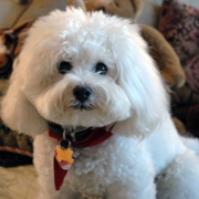 Long hair Bichon Frise Puppy photo.PNG