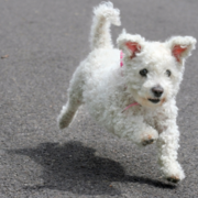 Photo of Bichon Frise dog puppy on running.PNG