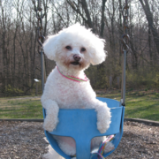 Photo of bichon frisee on a swing.PNG