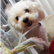Pic of bichon frise dog breed.PNG