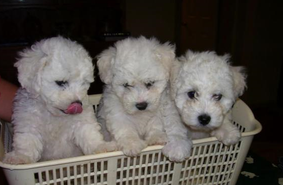 Picture of bichon frise breaders in laundry basket.PNG