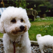 Picture of bichon frise dogs.PNG