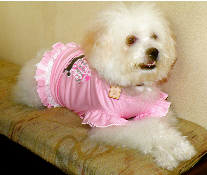 Picture of bichon frise in pink.PNG