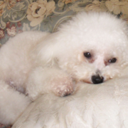 Picture of bichon frise mix.PNG