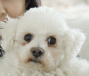 Picture of Bichon Frise Puppy.PNG