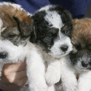 Picture of jack russell bichon frise puppies.PNG