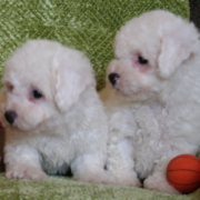 Picture of teacup bichon frise puppy.PNG