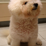 Pictures of bichon frise pup.PNG