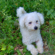 pictures of bichon frise.PNG