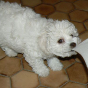 Playful bichon frise puppies breeders.PNG