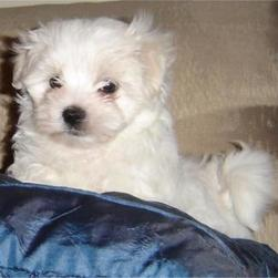 maltese puppy on the pillow.jpg