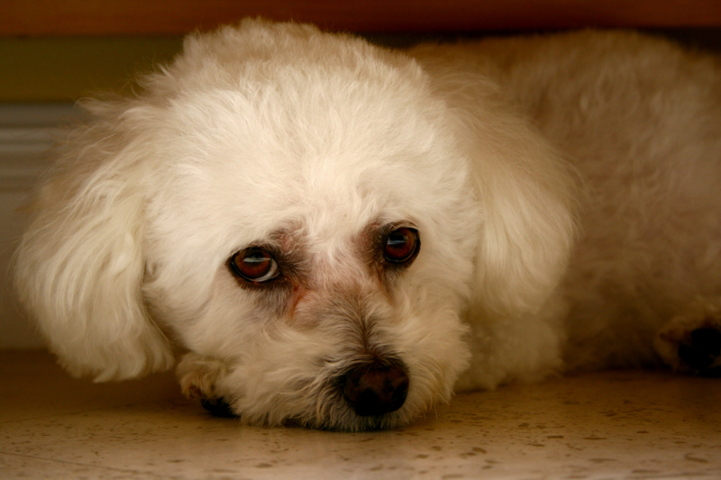Pretty picture of a Bichon Frise Puppy.PNG