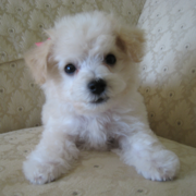 Pretty Young Bichon Frise Puppy looking straight to the camera.PNG
