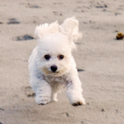 Running mini bichon frise on the beach.PNG