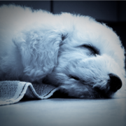 Sleepy Bichon Frise Puppy Pictures.PNG