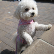 Standing up bichon frise clothing.PNG