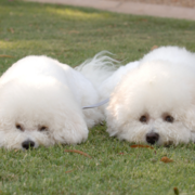 Two bichon frise dog breeders laying on the grass looking so cute and funny.PNG