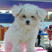 White bichon frise dog breeder pic.PNG