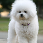 White bichon frise grooming_french bichon frise.PNG