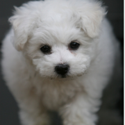 White bichon frise photo.PNG