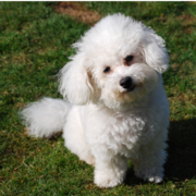 White bichon frise puppy breeder on the grass in the sun.PNG