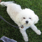 White Bichon Frise Puppy looking up to the camera with its sleepy eyes.PNG