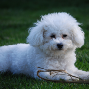 White Bichon Frise Puppy Posting.PNG